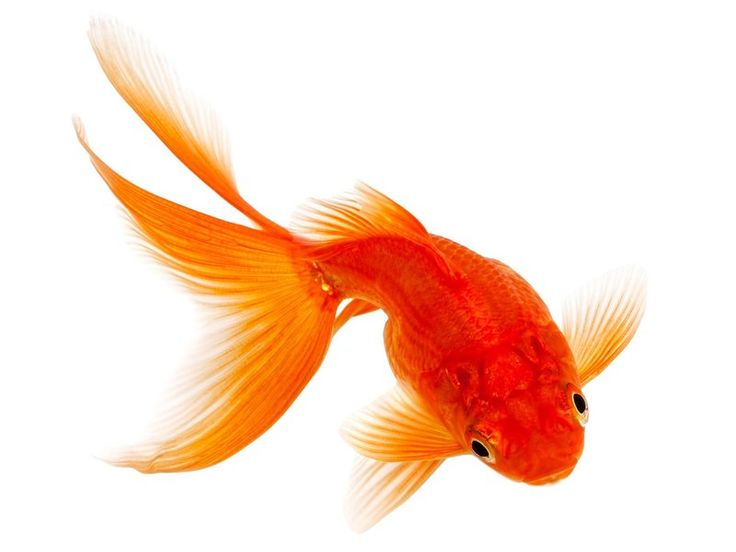 золотая рыбка картинка акварель: 9 тыс изображений найдено ...