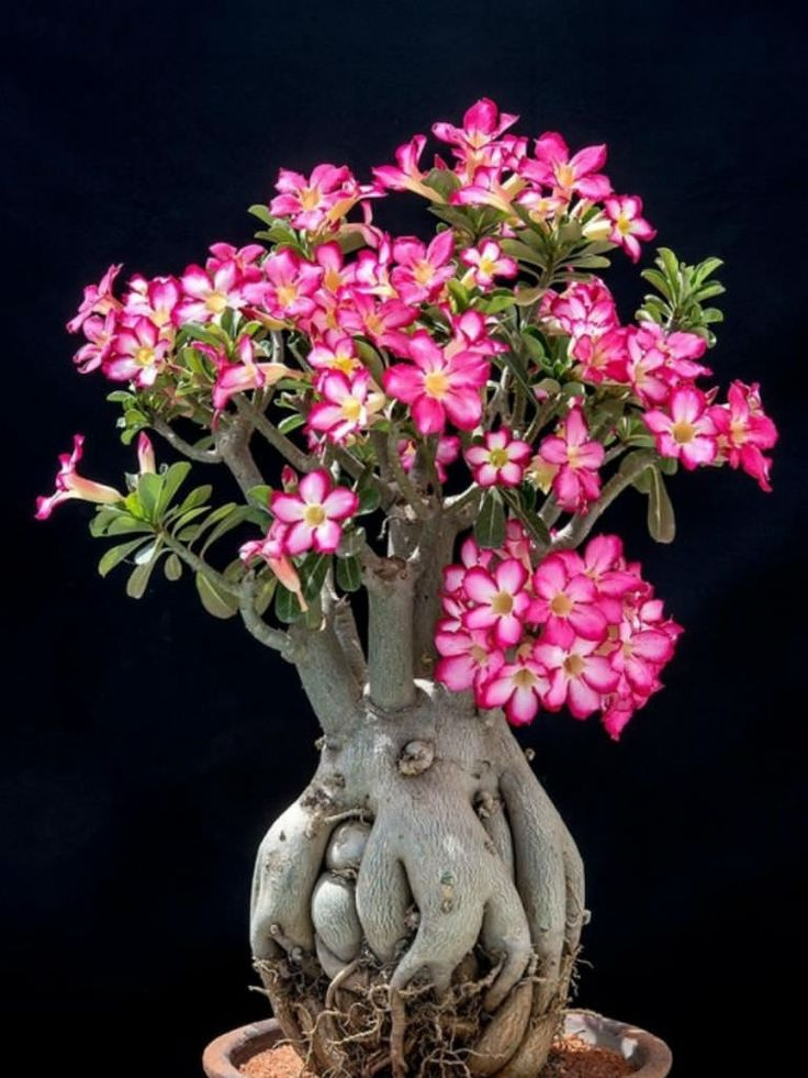 Adenium obesum is an evergreen or drought-deciduous succulent shrub... #adenium #succulentopedia #succulents #CactiAndSucculents #WorldOfSucculents #SucculentLove #SucculentPlant #SucculentPlants #succulentmania #SucculentLover #SucculentObsession #SucculentCollection #plant #plants #SucculentGarden #garden #desertplants #nature #blooming #BloomingSucculent #flower #flowers #SucculentFlower #SucculentFlowers