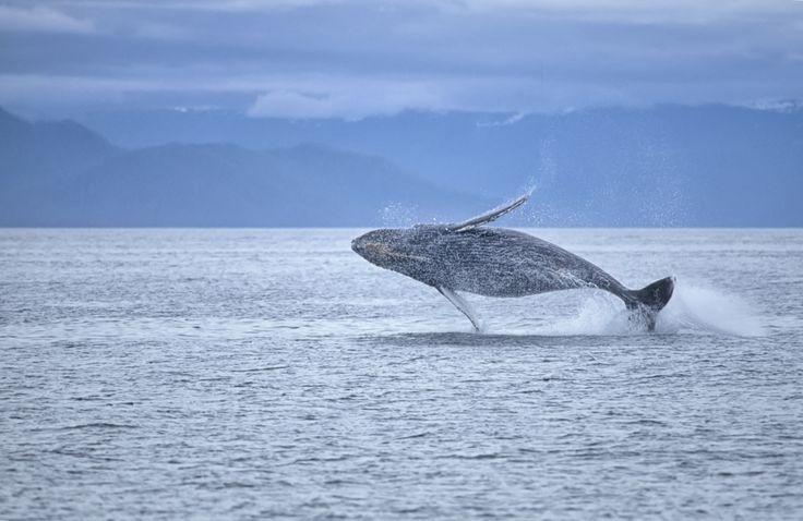 In Alaska potrai ammirare balene, leoni marini, foche, lontre e aquile tra ghiacci e cieli sconfinati...