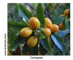 Cumquat Recipes
