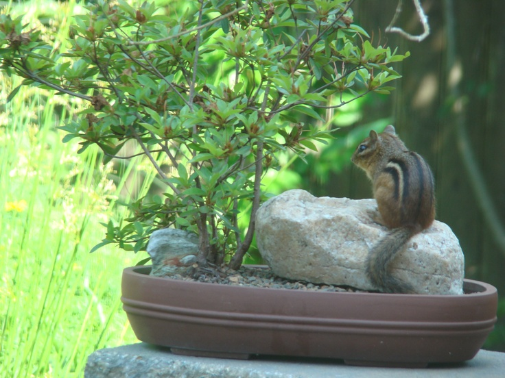 #1 Chipmunk visiting new Azalea bonsai in training (first year).