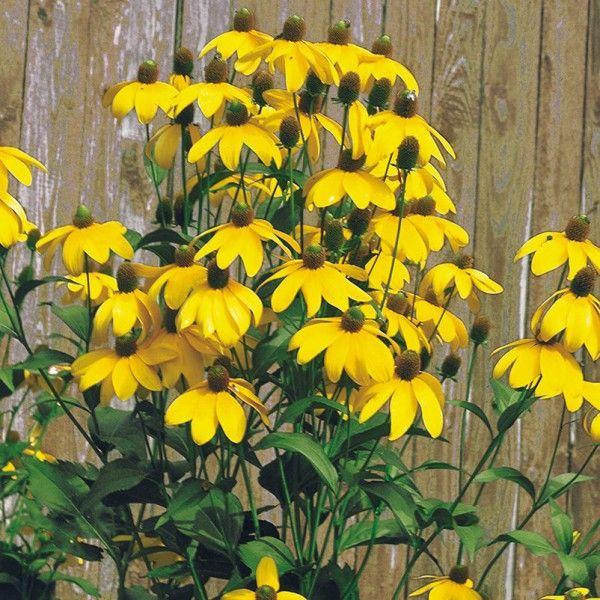 Pflanzen-Kölle Fallschirm-Sonnenhut gelb, 11 cm Topf.  Farbenprächtige, zitronengelbe Blüten schmücken den spätsommerlichen Garten und bieten Bienen eine wertvolle Nahrungsquelle.