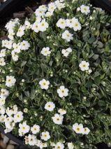 Myosotis colensoi, a sweet wee mat like ground cover