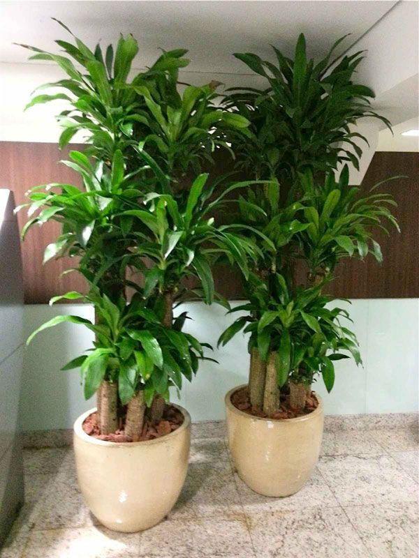 27 best Plantas Meia Sombra images on Pinterest Ornamental plants