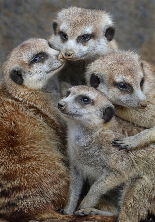 Meerkat mobbin! All four one and one for all by Ion Moe