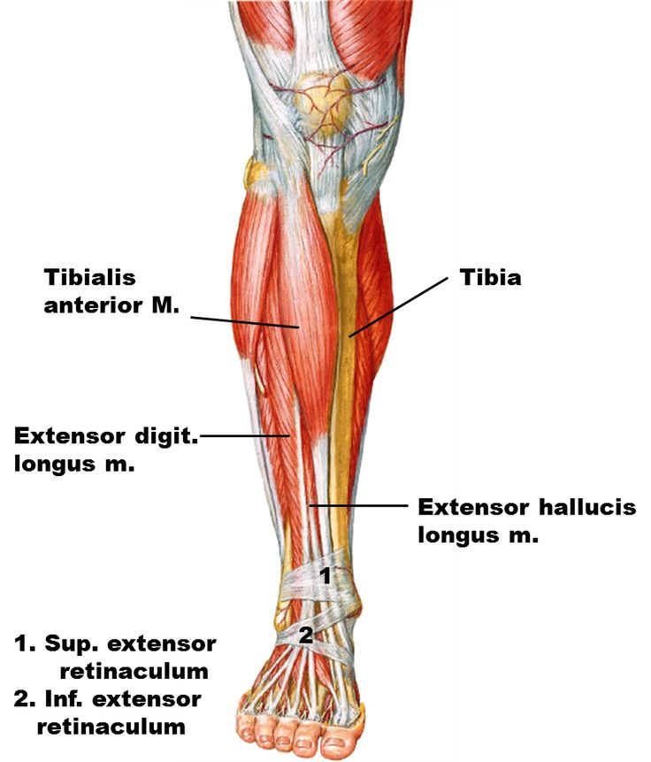 56 best anatomy references - leg images on pinterest | anatomy, Muscles