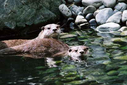 Wellington Zoo - Small Clawed Otter