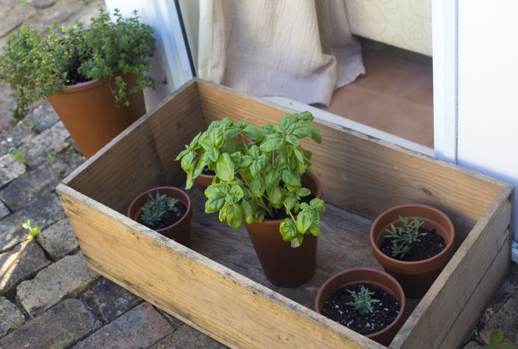 Basil and lavender seedlings in a box I bought from the junk shop