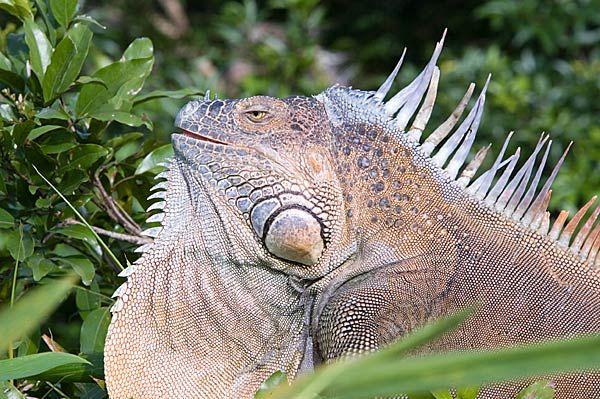 Iguanas Iguanas Iguanas!