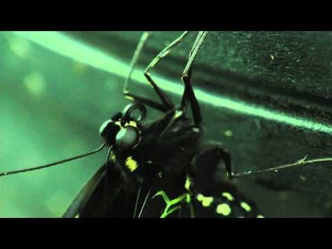 time lapse video of a black swallowtail butterfly coming out of its chrysalis