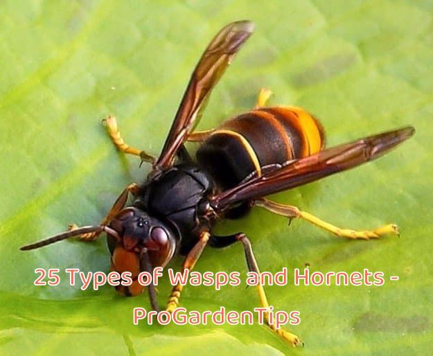 Types Of Wasps Yellow Legged Hornet Vespa Velutina In 2020 Wasp Hornet Tarantula Wasp