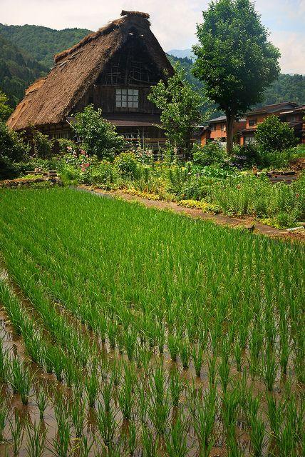 Rice field in Shirakawa Village, Japan