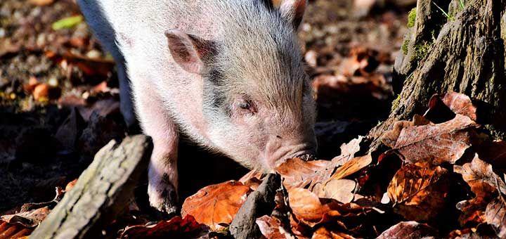 erisipela porcina tratamiento