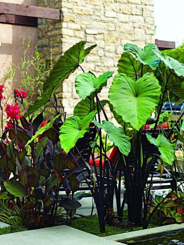 Bold clumps of Colocasia esculenta 'Fontanesii' (black taro) help divide the small garden into separate spaces.