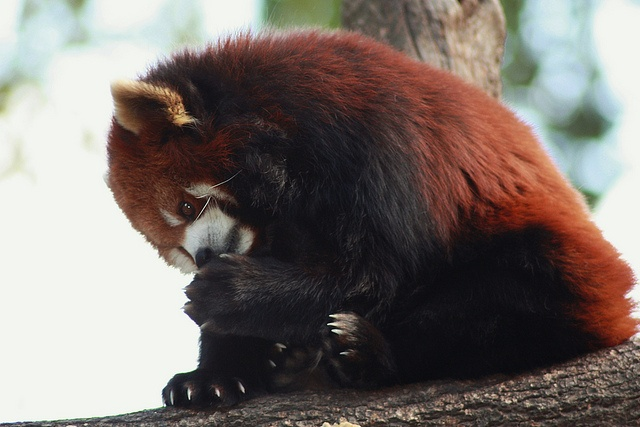 Red Pandas groom themselves like cats by licking their paws and then rubbing the area to be cleaned.    Grooming red panda by Izabella U, via Flickr