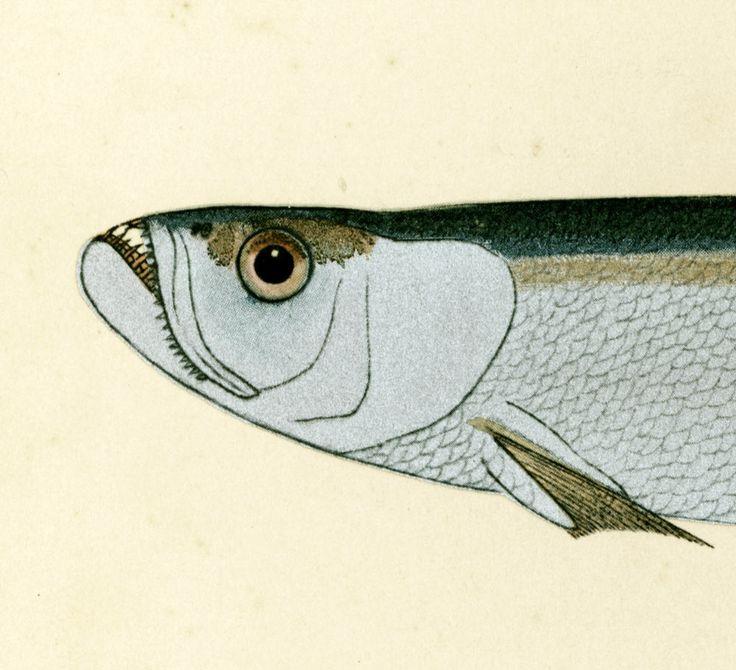 1932 Hareng Gravure Originale. Ichtyologie. Biologie marine. Asie Pacifique Ocean Atlantique Indien. de la boutique sofrenchvintage sur Etsy