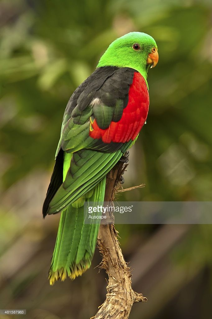 Red-winged parrot, Aprosmictus erythropterus, male, rear view, The Cairns Wildlife Dome, Cairns, Queensland, Australia