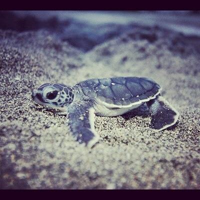 Turtle. Baby turtle