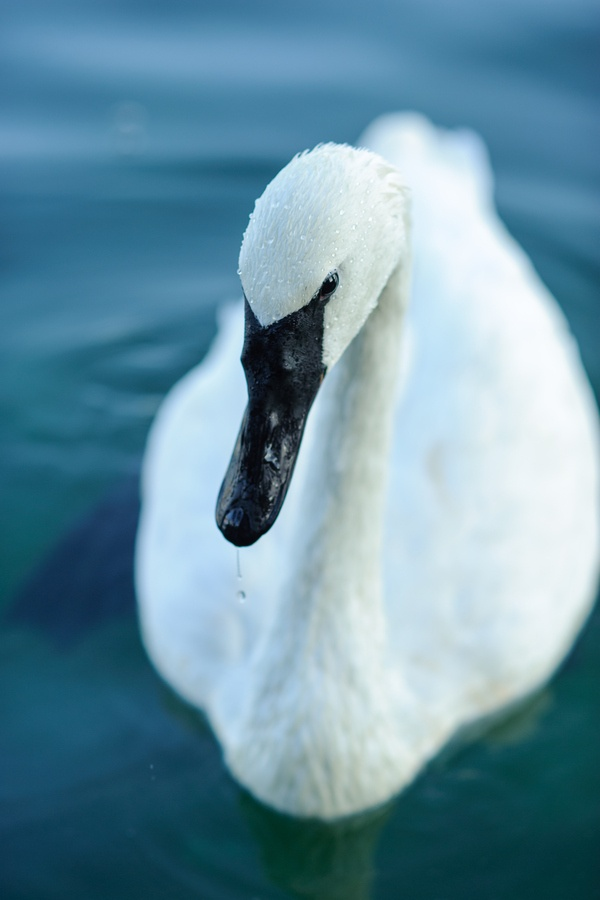 Trumpeter Swan by Ray Meibaum on 500px