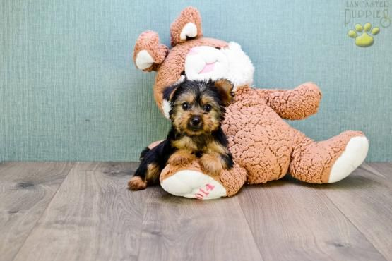 #CuteNCuddly #MansBestFriend #PuppyLove #YorkshireTerrier #YorkieLove #Terrier #TerrierLove #Mini #Yorkie #BuckeyePuppies #Loyal www.BuckeyePuppies.com