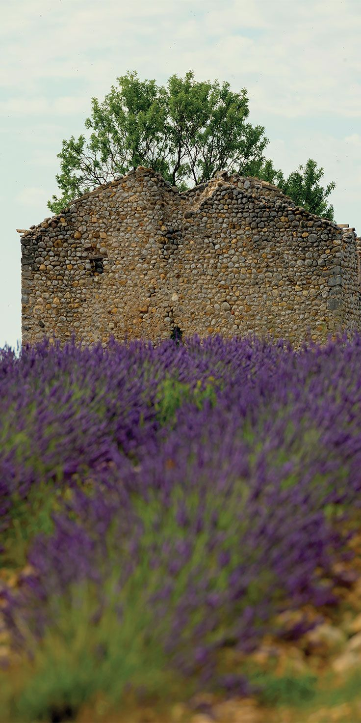 Stone ruins among the lavender fields in Provence - by Lauren Bath