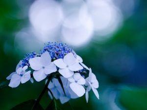 Gambar Bunga Hortensia Mekar Di Bulan Juni
