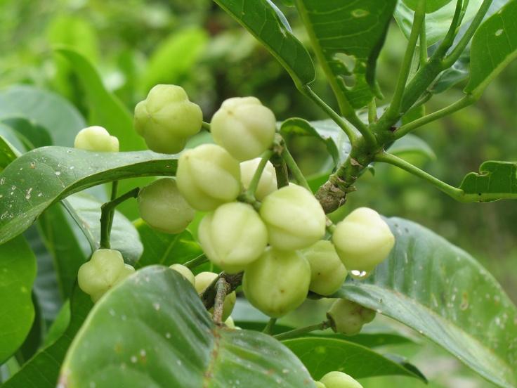 """Rainforest Lemons (lemon aspen)  for jelly, sauces, etc -  rainforestbounty.com.au"