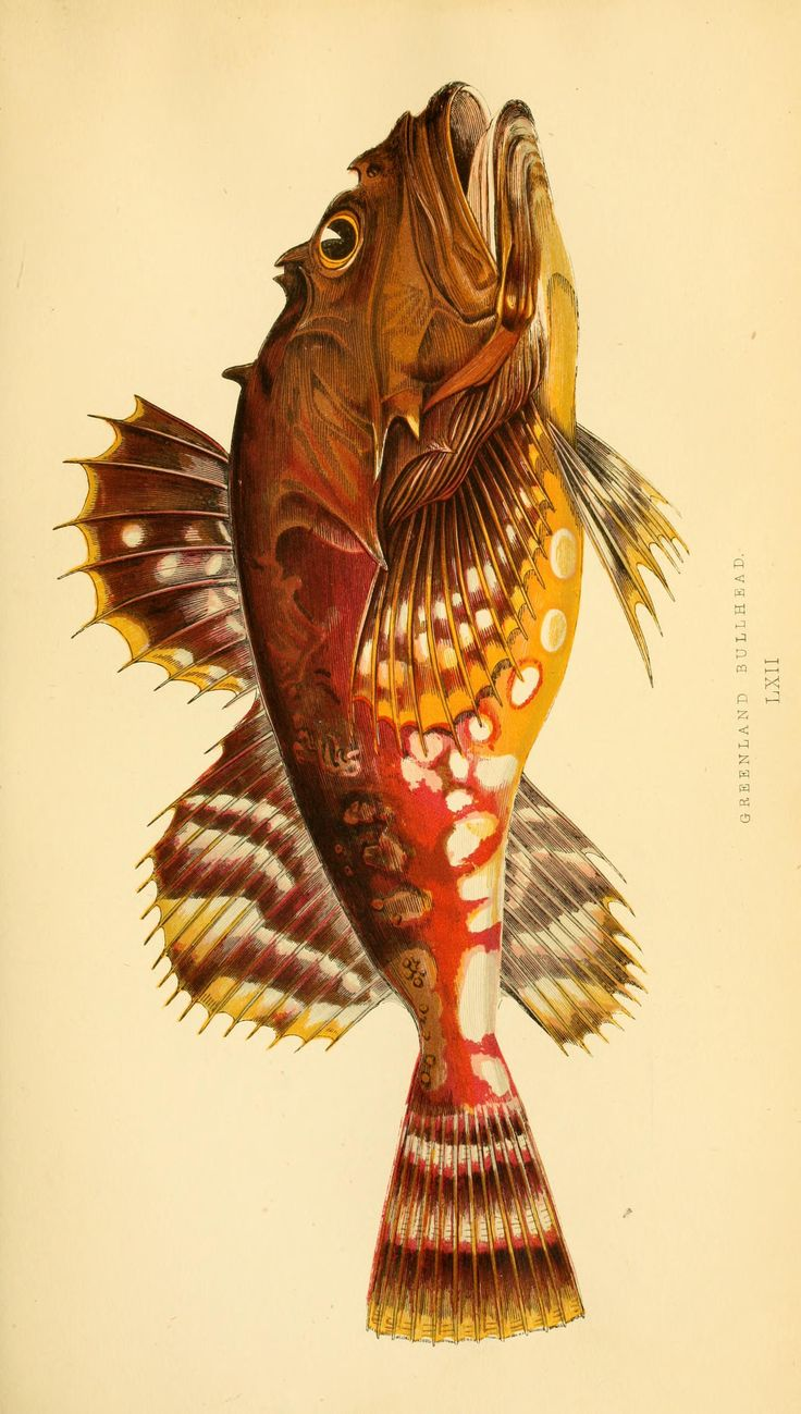 Cottus groenlandicus. A history of the fishes of the British Islands v.2  London,Groombridge and Sons,1862-65.  Biodiversitylibrary. Biodivlibrary. BHL. Biodiversity Heritage Library