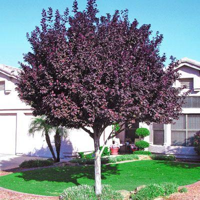 "purple leaf plum.  deciduous but also ""practically no litter"".  hmmmm"