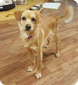 4/12/17 LONG ISLAND CITY, NY - Golden Retriever/Retriever (Unknown Type) Mix. Meet Poocoo, a dog for adoption. http://www.adoptapet.com/pet/17928240-long-island-city-new-york-golden-retriever-mix