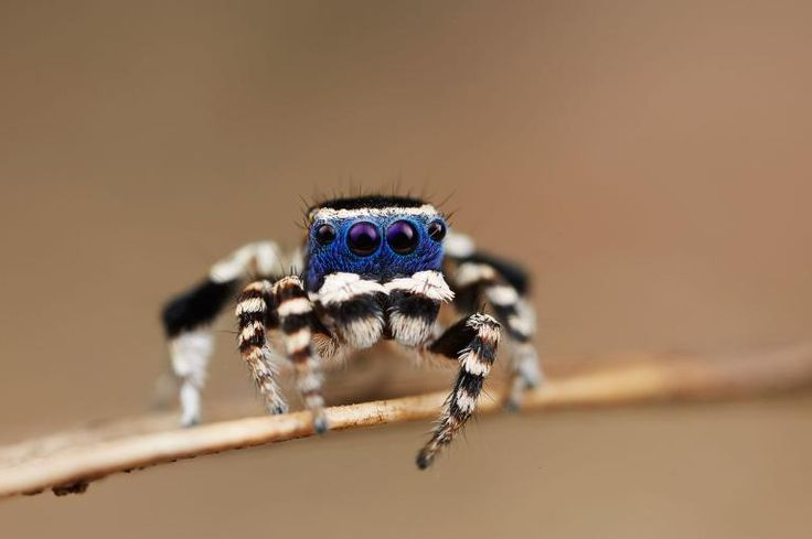 Picture of a new species of peacock spider