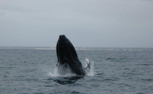 Port Elizabeth Boat Trips - Port Elizabeth boat trips in the famous Algoa Bay (Nelson Mandela Bay municipality) visited for the first time by Bartolomeu Dias in 1488 is still one of South Africa's most magnificent bay cruises and best kept secrets. The bay is home to two major harbours and St Croix and Brenton Island. Algoa Bay also has a rich and varied wildlife with many bird species, whales and seals being spotted on boat cruises from Port Elizabeth Harbour. So when you next land in...