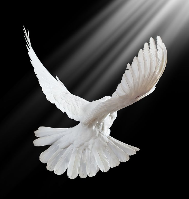 holy spirit of truth white light fire | bigstock_A_Free_Flying_White_Dove_On_A__12761780