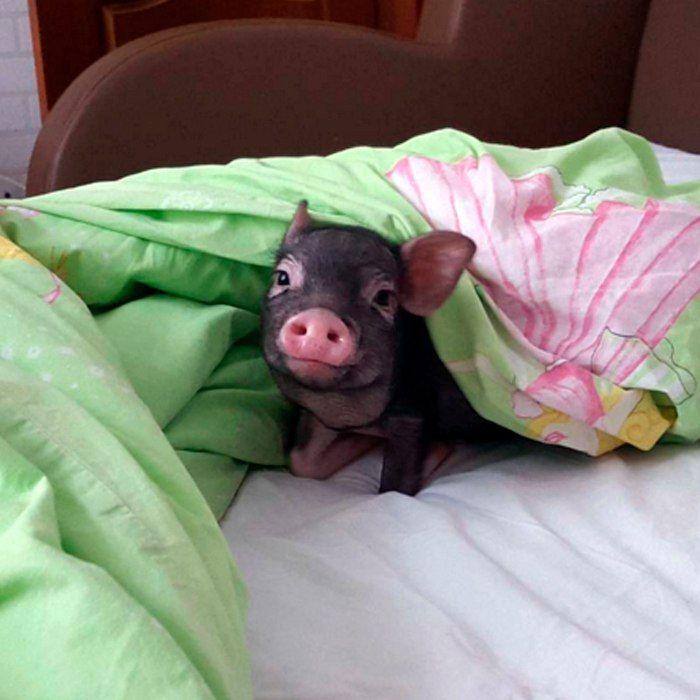 данные погоде свинка проснулась фото своей
