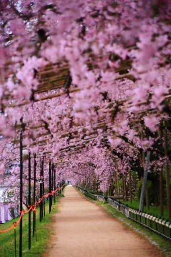 桜の名所の京都の半木の道の満開緒しだれ桜のトンネル