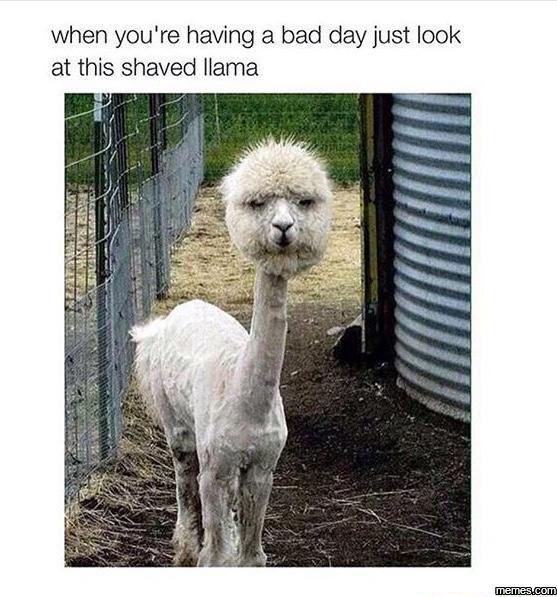 This shaved llama