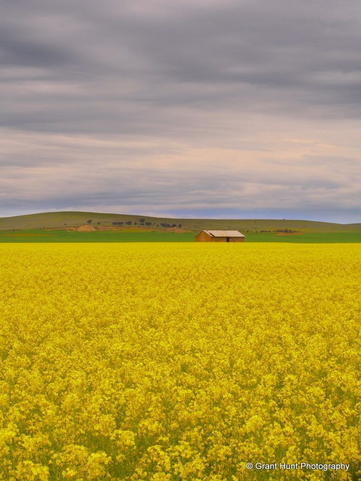 #197 Another stormy day in the Flinders Ranges but the brilliant yellow of the spring crops light the way and brighten the day.