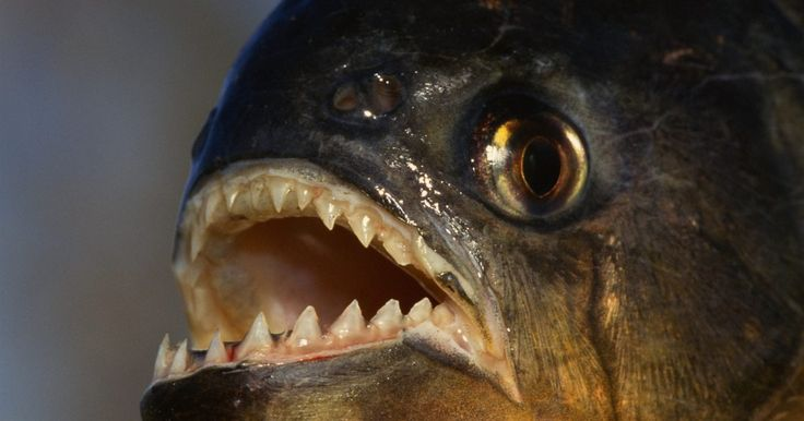 Información acerca de las pirañas para los niños. En América del Sur, tanto en ríos como en lagos, se pueden encontrar pirañas: unos peces conocidos por su hambre voraz, similar al de los tiburones. Las pirañas de panza roja son las más feroces y es la especie que le dio su reputación temible a estos peces. Cuando las presas son escasas, las pirañas hambrientas recurren a sus compañeros de ...
