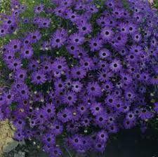 Brachyscome iberidifolia Splendour Violet