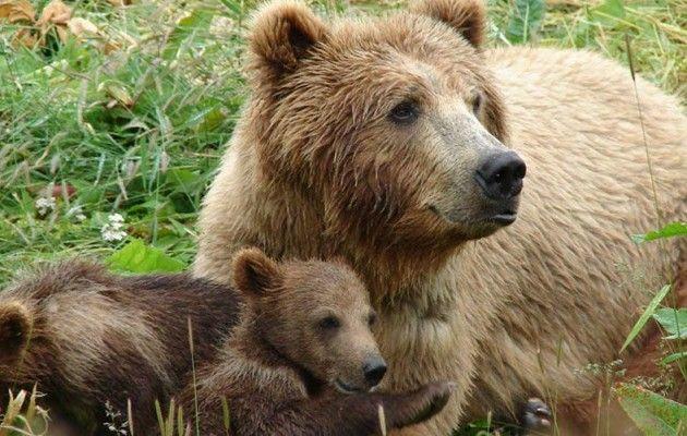 Ξύπνησε νωρίς τις καφέ αρκούδες η κλιματική αλλαγή