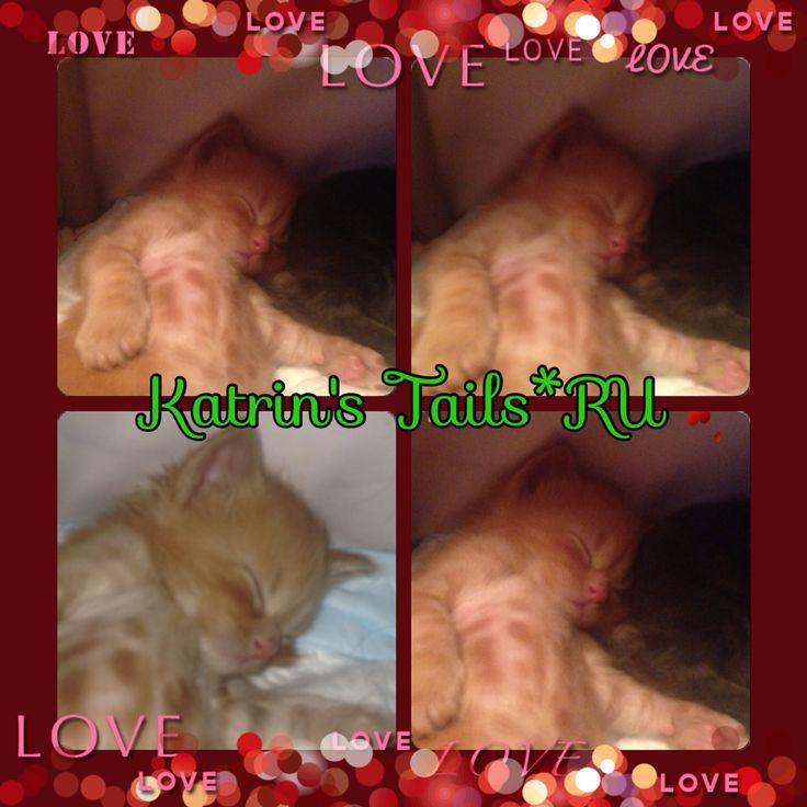 Ой не могу.. Мимишность зашкаливает  такой целовательный мальчишка #katrinstails #мейнкун #котята #продаютсякотята #продажа