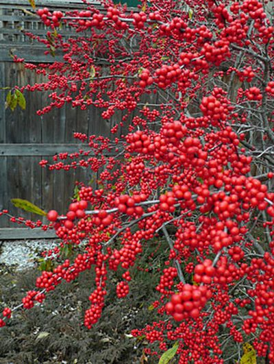 Grow your own bird food! Winterberries (Ilex verticillata) puts on a spectacular show in late fall and early winter.
