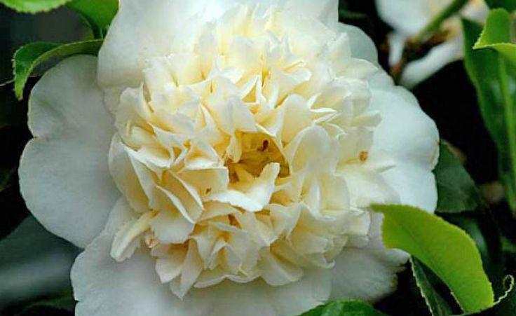 Camellia japonica 'Brushfield Yellow': opulentes Aussehen durch gekräuselte, innen liegende Blütenblätter. Gut winterhart.