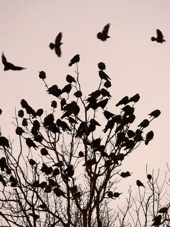 """A Murder of Crows (a group of crows is called """"A Murder"""")"""