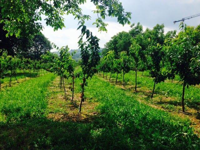 HIKE, BIKE, SLOW FOOD ITALY: Cherry picking in Bergamo