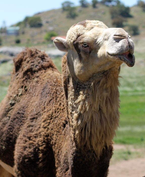 Oasis Camel Dairy in Ramona California~Fun place to visit! #SanDiego