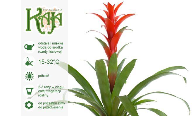 Guzmania: Jest najpopularniejszą rośliną z rodziny bromeliaceae, pochodzi z Ameryki Środkowej. W zależności od gatunku osiąga wysokość 30-40 cm. Guzmania jest roślina, której nie przesadzamy. Guzmania nie choruje, odporna jest na wszelkie grzyby i szkodniki.