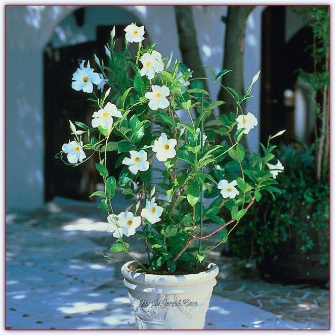 Sundaville | Mandevilla Çiçeğinin Bakımı, Yetiştirilmesi, Çoğaltılması - Sayfa 11 - Forum Gerçek
