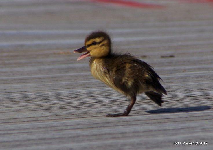 Baby Mallard duck!