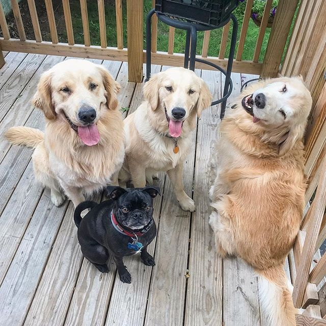 Happy Golden Retriever Father And Sons With Best Bud Boston